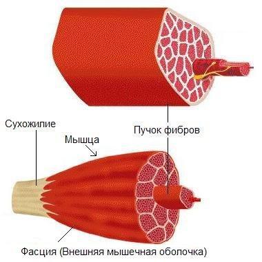 Фасция ткань